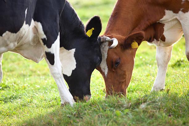 Kühe wrestle. – Foto