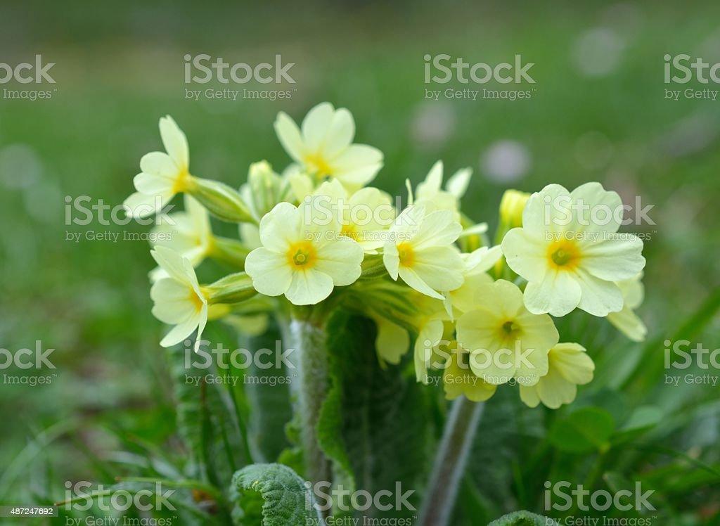 Cowslip (Primula veris) flowers stock photo