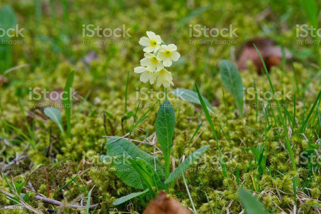 Cowslip  (Primula veris) in a nature stock photo