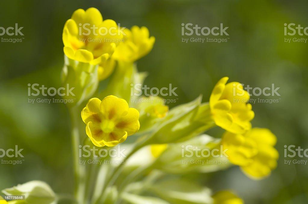 Cowslip (Primula veris) in Spring royalty-free stock photo
