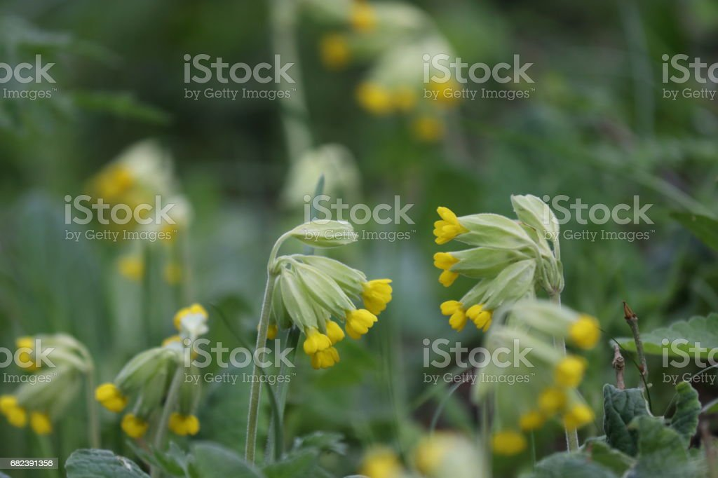 cowslip or cowslip primrose flower in spring foto stock royalty-free