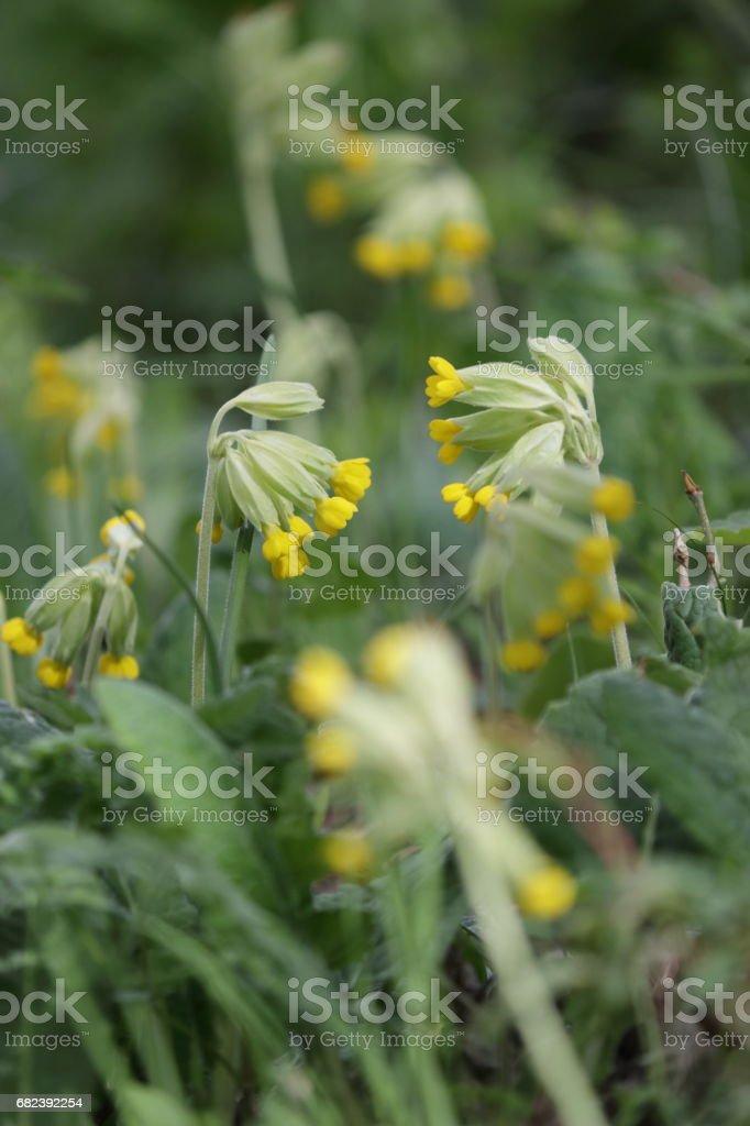 cowslip or cowslip primrose flower in spring royalty-free stock photo