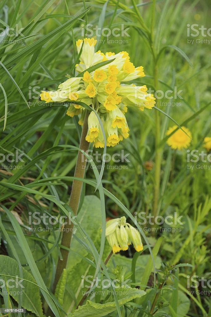 cowslip royalty-free stock photo