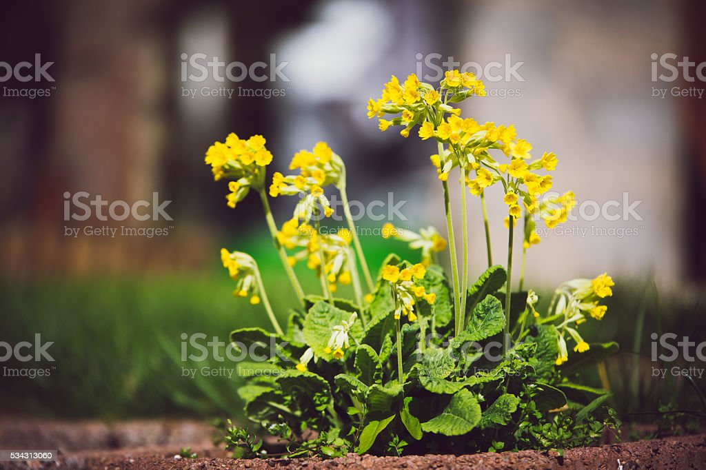 Cowslip Primula veris Yellow spring flower stock photo