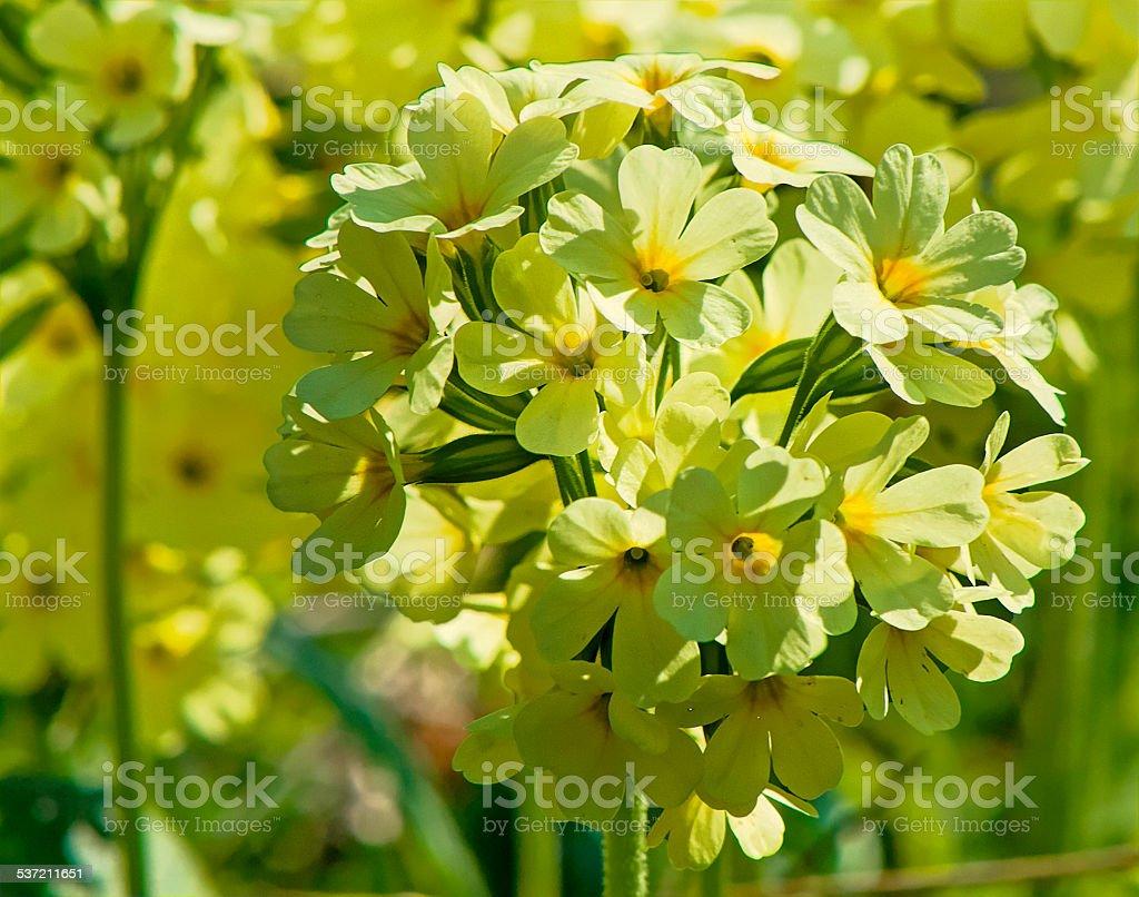 Cowslip yellow stock photo