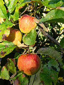 Cox's Orange Pippin apples on a tree