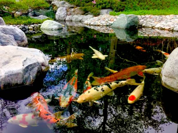 coy fish japanese garden in balboa park, san diego, ca samuel howell stock pictures, royalty-free photos & images