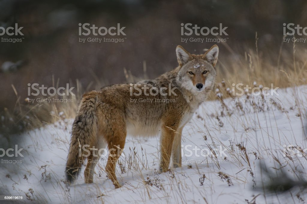 Coyote after a Snowstorm stock photo