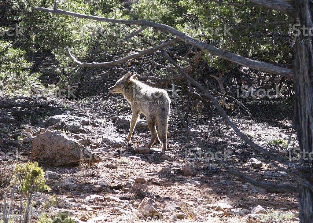 Coyote Canis Latrans royalty-free stock photo
