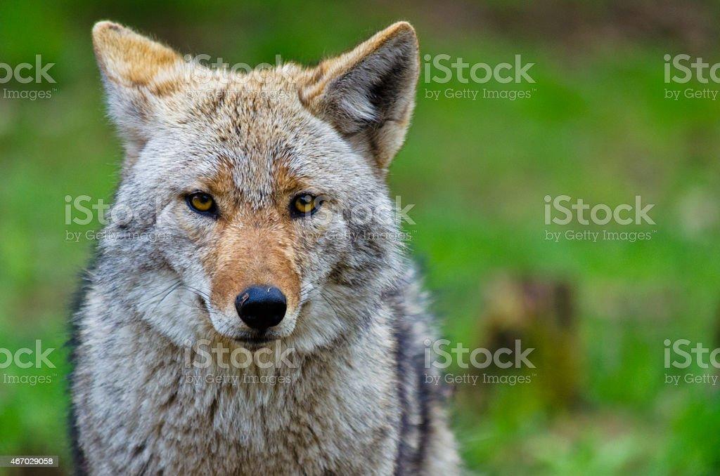 Coyote - Canis latrans stock photo