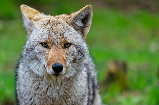 Coyote - Canis latrans stock photo