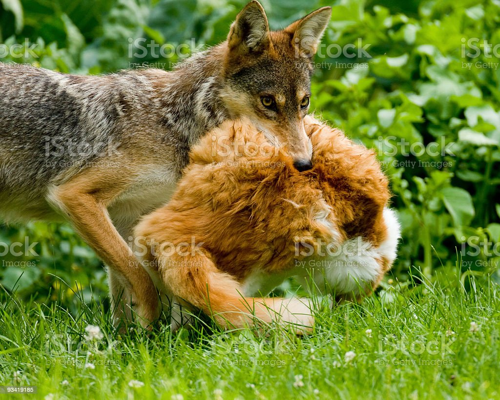 Coyote carrying Cat stock photo