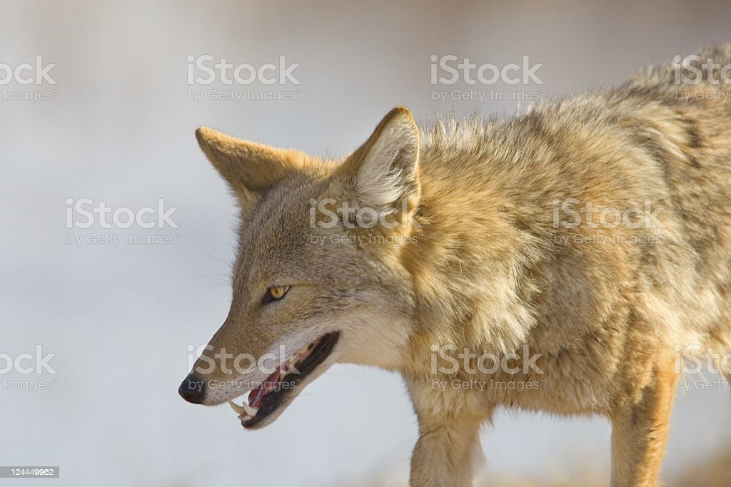 Coyote Close Up royalty-free stock photo