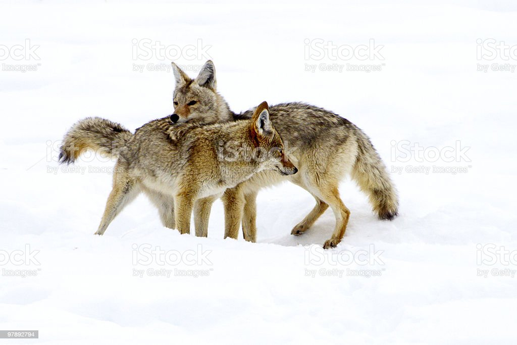 Coyote Courtship royalty-free stock photo