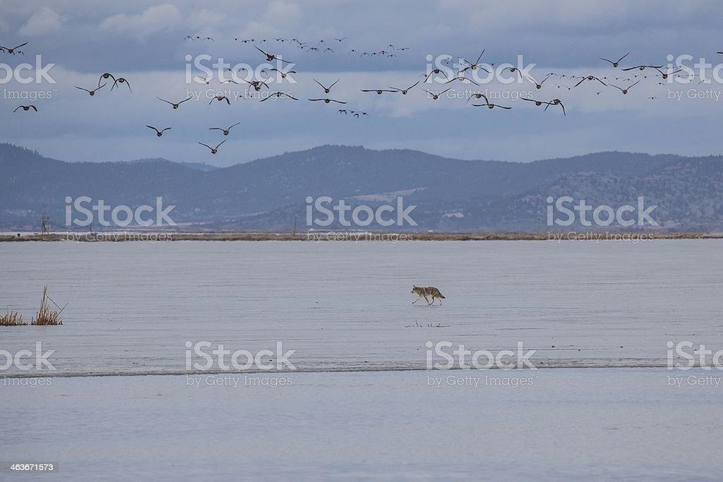 Coyote crossing frozen lake stock photo