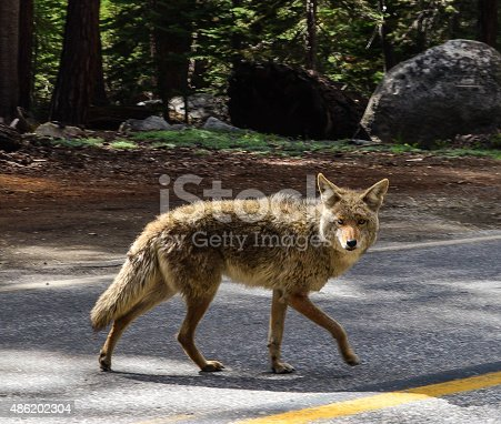 This Coyote could care less that we were driving on the same road.