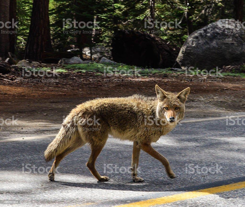 Coyote Crossing stock photo