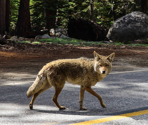 Coyote Crossing stock photo