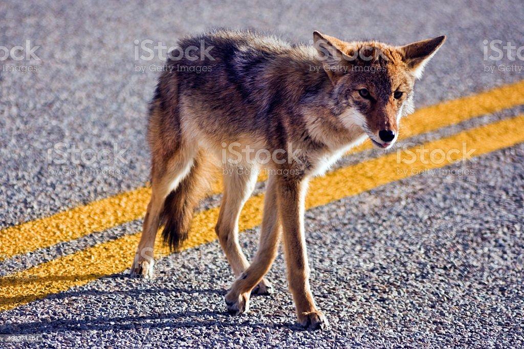 Coyote crossing road stock photo
