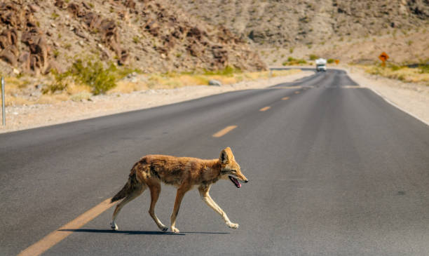 Coyote Crossing the Road stock photo