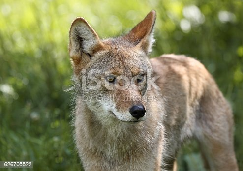 coyote in nature during spring