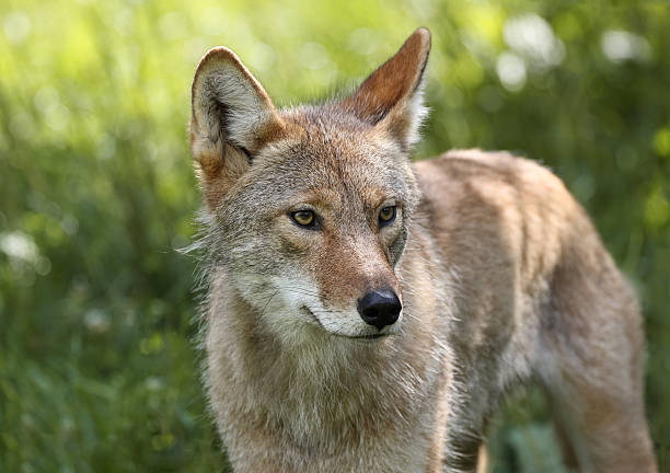 coyote during spring stock photo