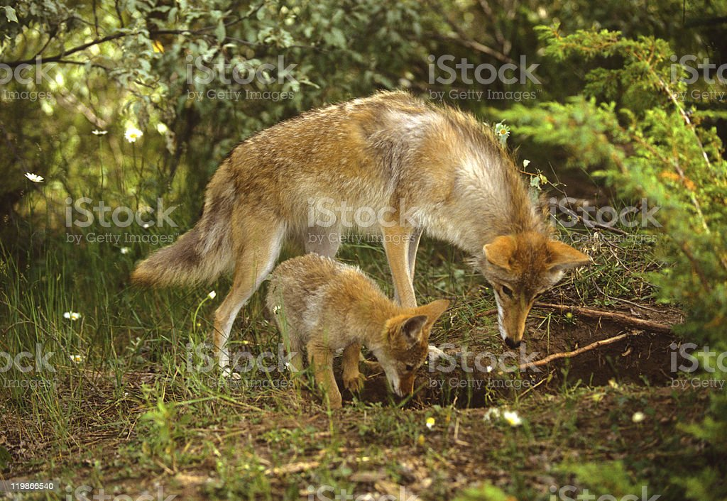 Coyote Female and Pup at Den stock photo