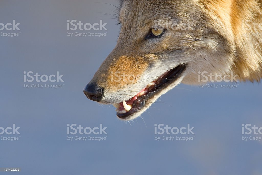 Coyote Head Close Up royalty-free stock photo