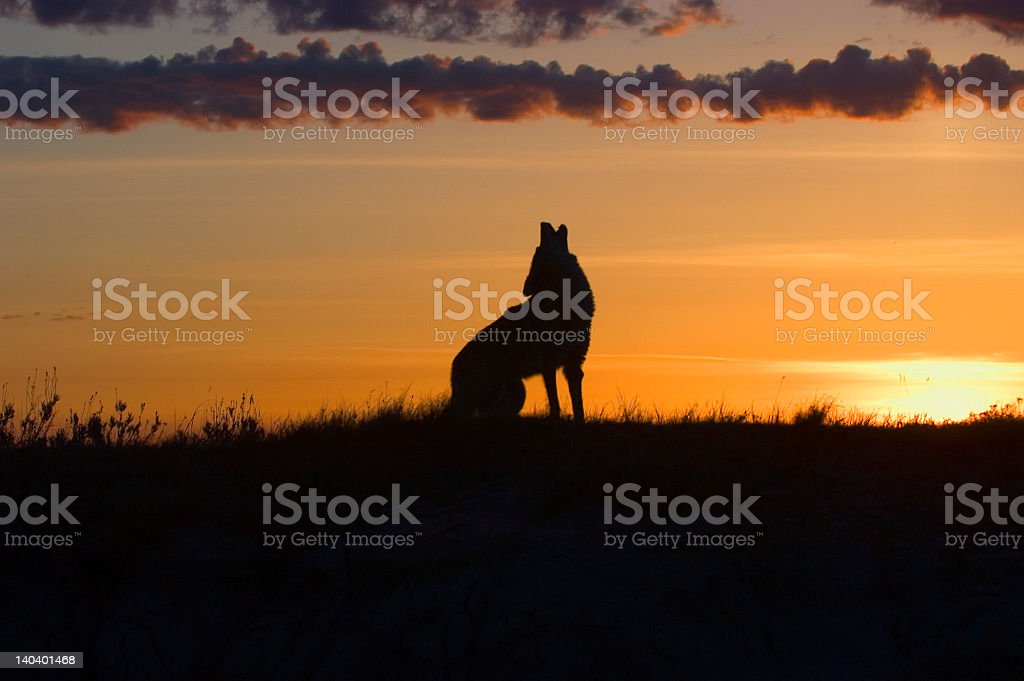 Coyote howling stock photo