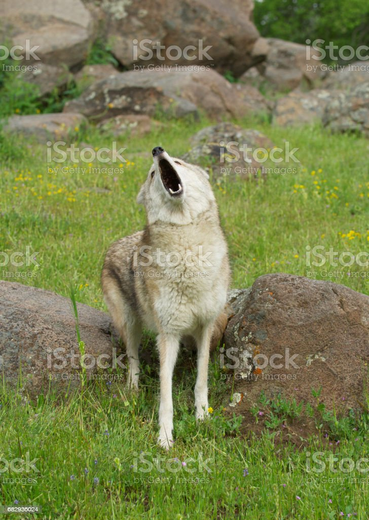 Coyote howling royalty-free stock photo