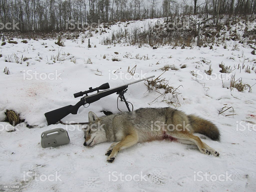 Coyote Hunt royalty-free stock photo