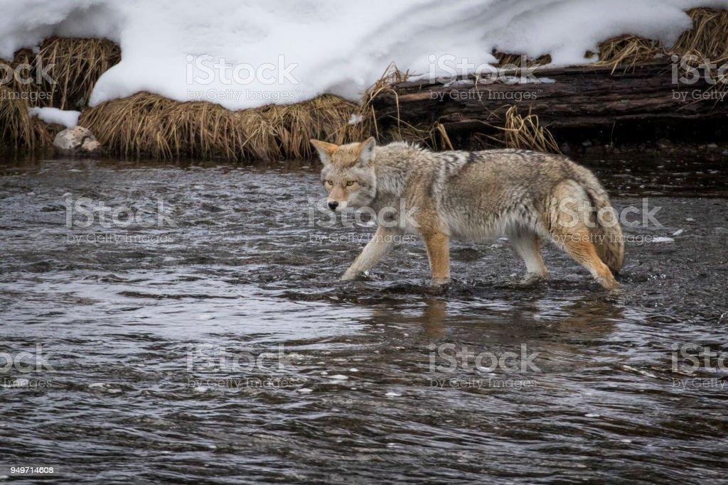 Kojoten jagen in Fluss – Foto