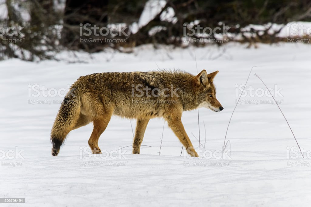 Coyote Hunting in the Snow stock photo