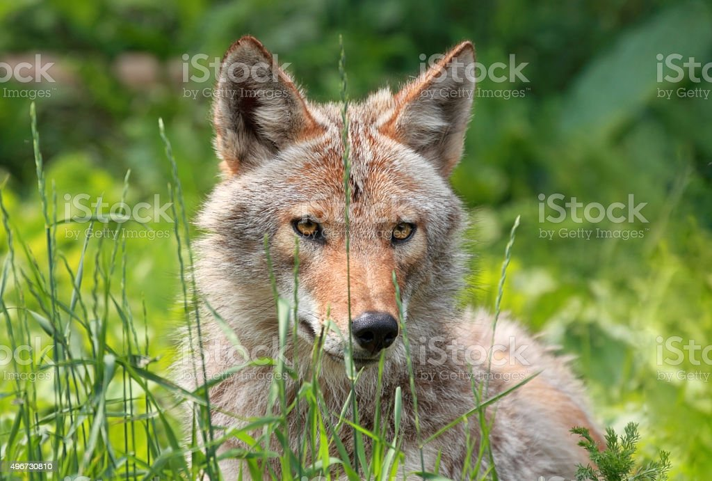 coyote in a field stock photo
