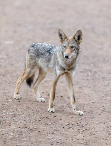 Coyote in Alert stock photo