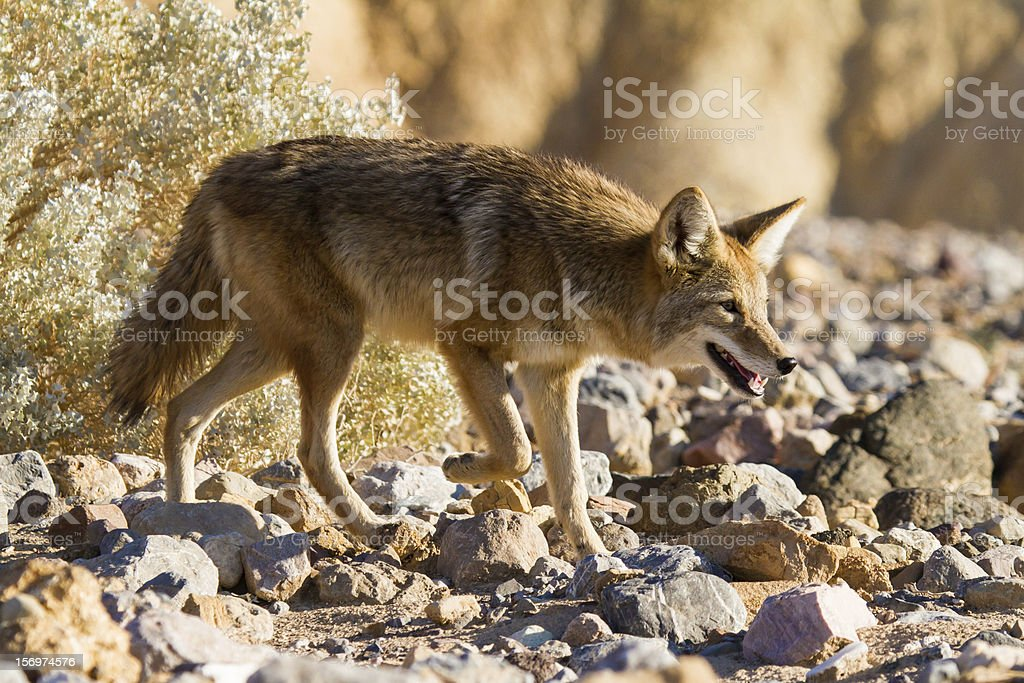Coyote In Death Valley National Park stock photo