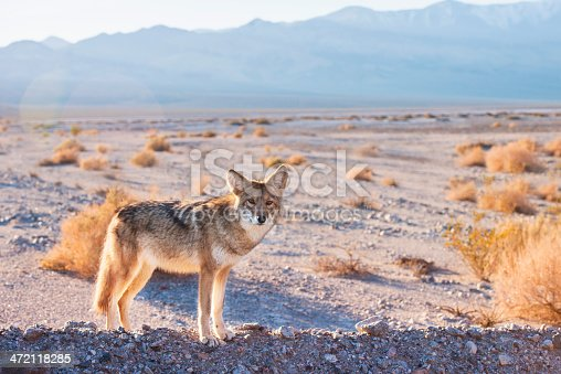 istock Coyote in Death Valley 472118285