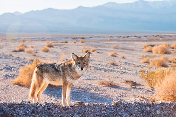 Coyote in Death Valley stock photo