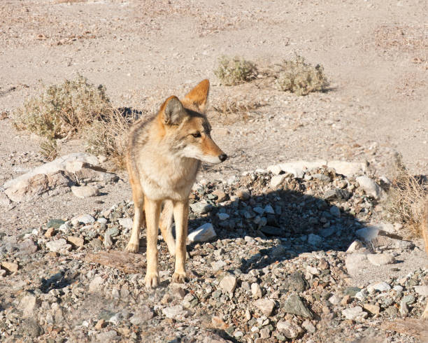 coyote in death valley - carnivora stock photos and pictures