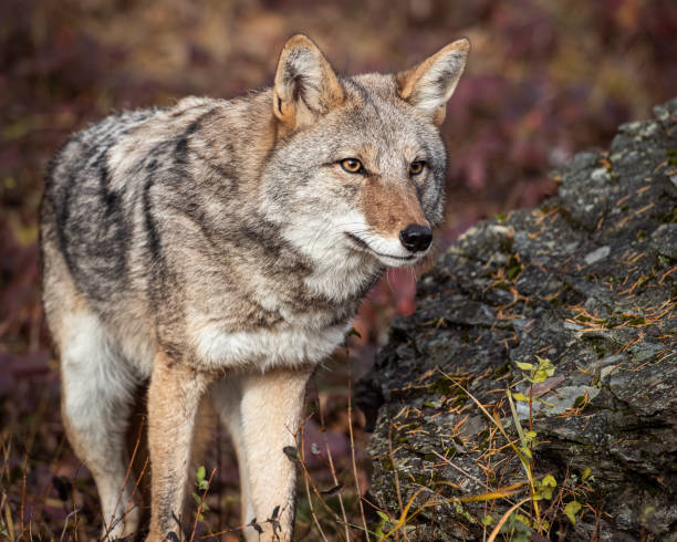 Coyote in Fall colors stock photo