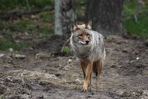 Coyote  in Omega Park, Quebec stock photo