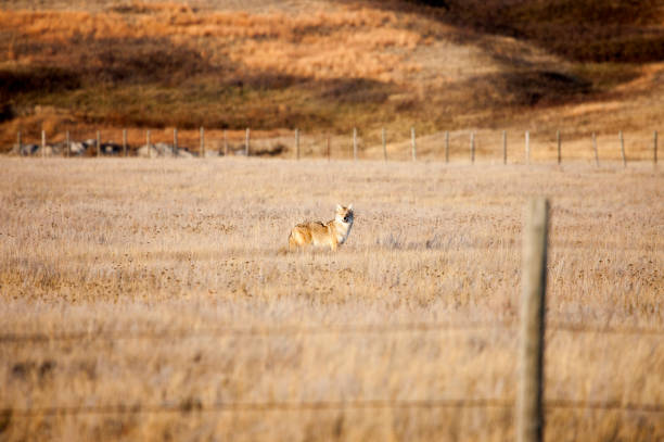 Coyote in Saskatchewan stock photo