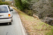 Tourists watching a coyote at the roadside into the car