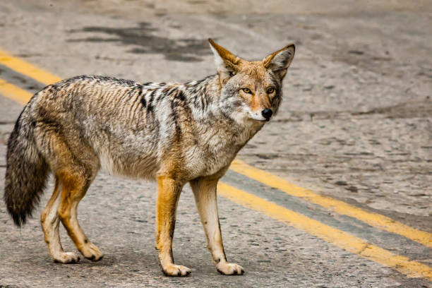 Coyote dans le parc national de Sequoia - Photo