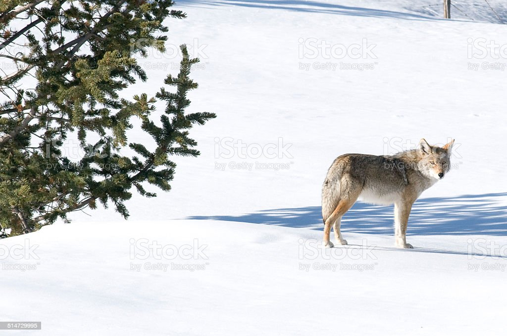 Coyote (Canis latrans) in Snow Field stock photo