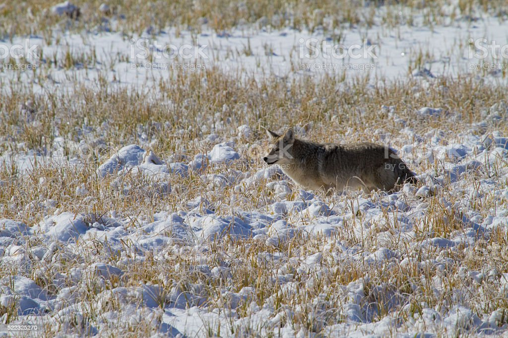 Coyote in Snow II stock photo