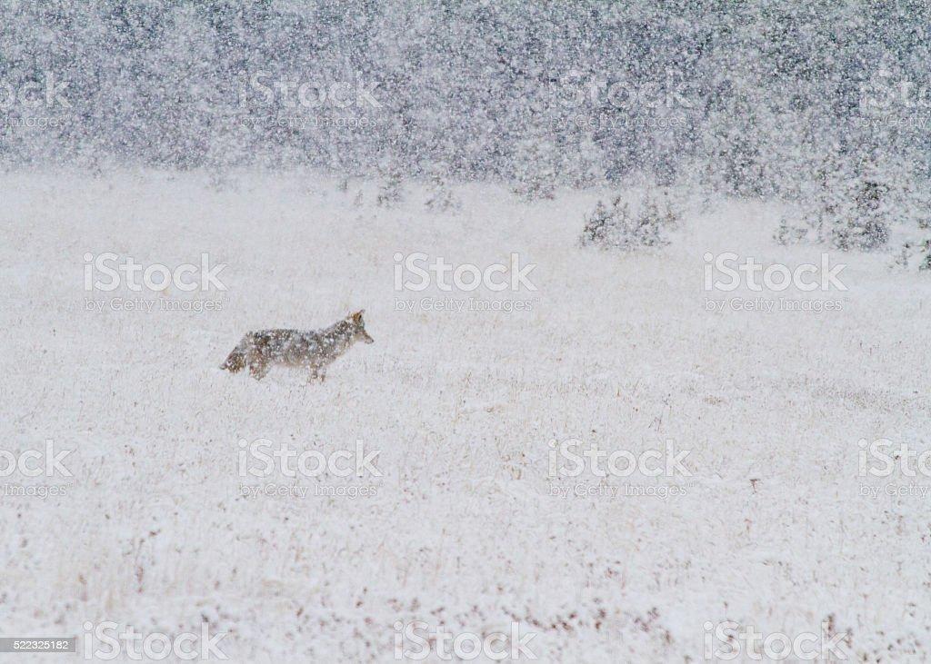 Coyote in Snow stock photo