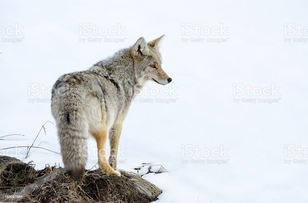 Coyote in Snow - Yellowstone NP stock photo