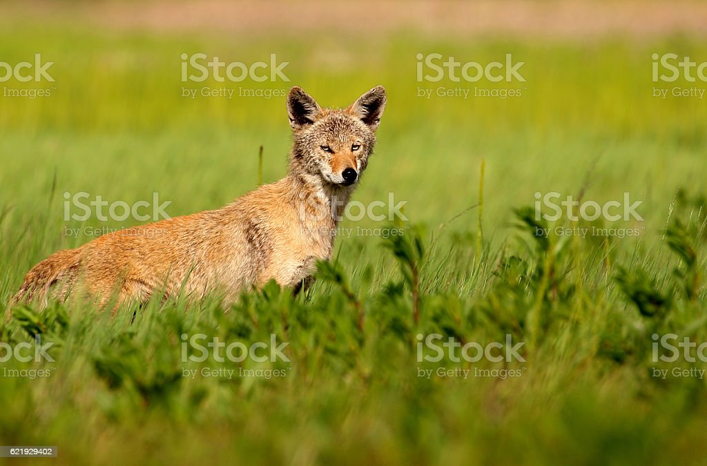 Coyote in the Grass stock photo