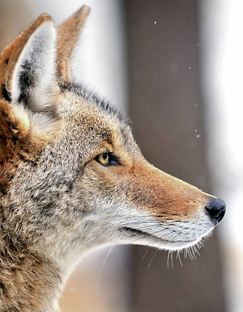 Coyote (Canis latrans) in the Snow stock photo